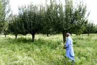 Apple Trees in Kashmir, India on 1st July 2013. (Photo: Sanjay Rawat/Outlook).