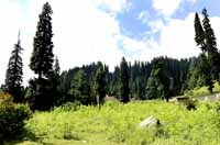 Pine Trees at Drangiyari forest, Lolab, Jammu and Kashmir, India on 1st July 2013. (Photo: Sanjay Rawat/Outlook).